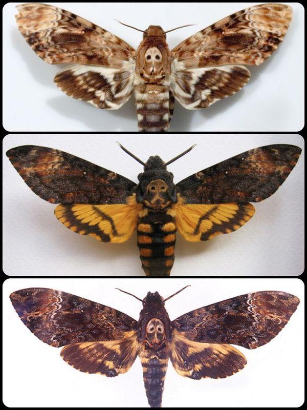 The Death's head moths
