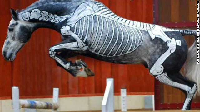 skeleton jumping horse